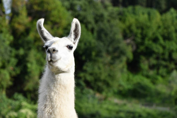 Portrait of a Llama stock photo