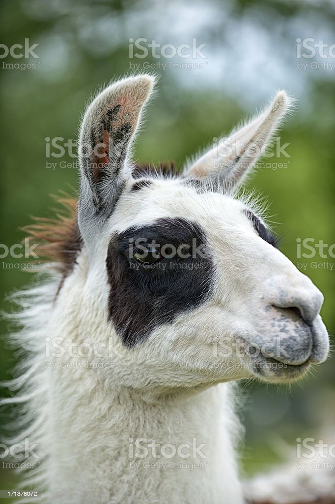 Portrait of a llama royalty-free stock photo