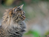 Portrait of a long haired domestic cat