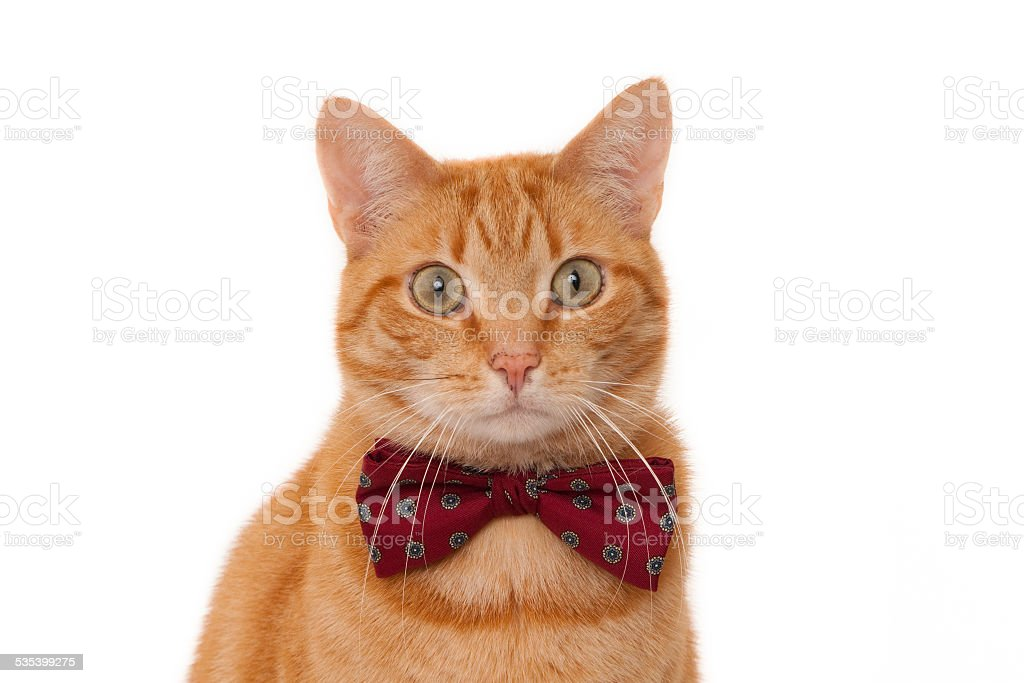 Portrait of a looking ginger cat with bordeaux bow tie stock photo