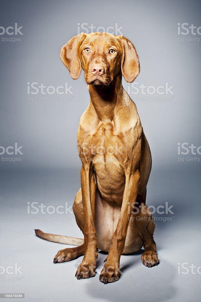 Portrait of a Magyar Vizsla Dog royalty-free stock photo