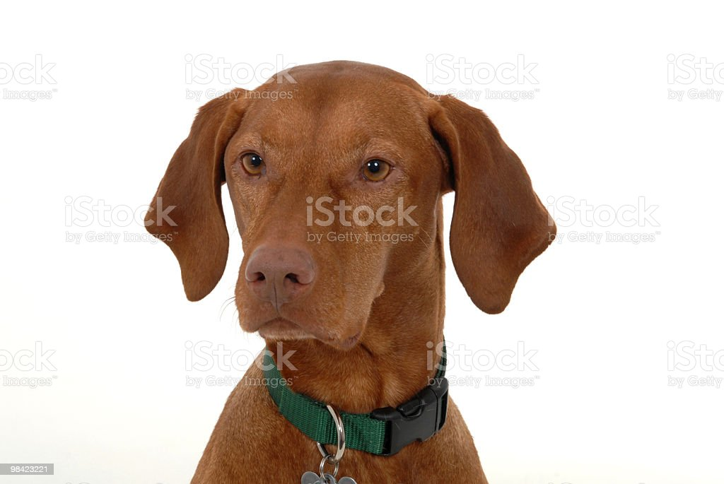 Portrait of a Magyar Vizsla royalty-free stock photo