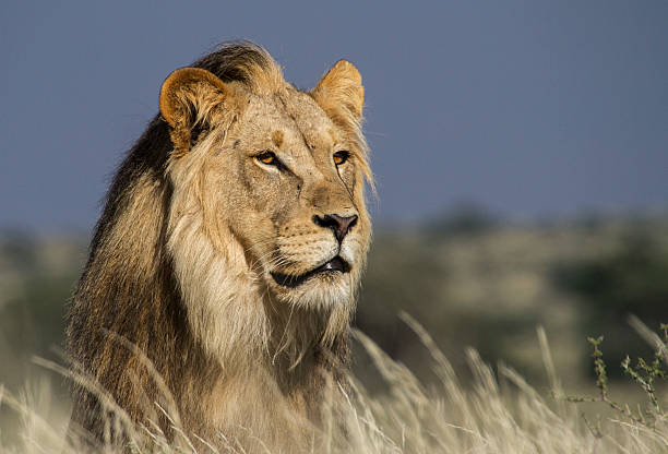 portrait of a majestic male lion - ruler stock photos and pictures