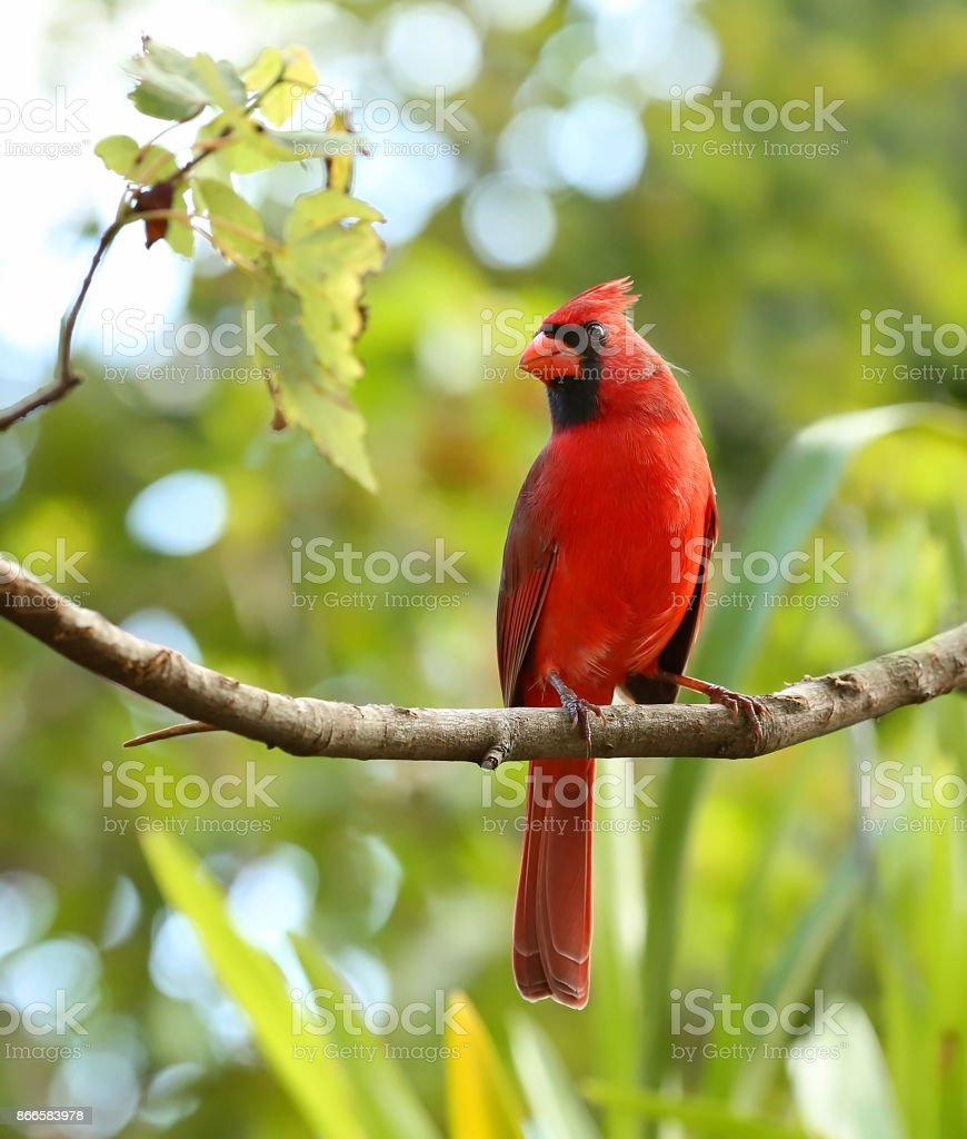 portrait of a male cardinal stock photo