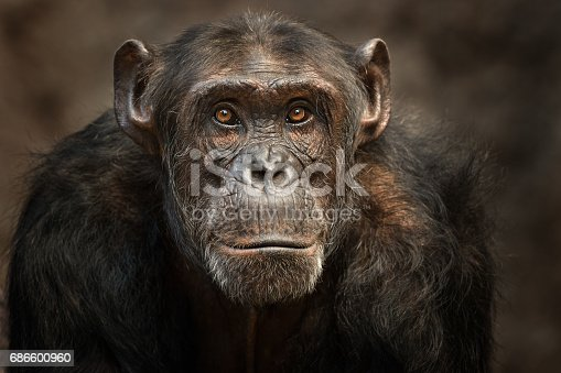 Close shot of a male Chimpanzee