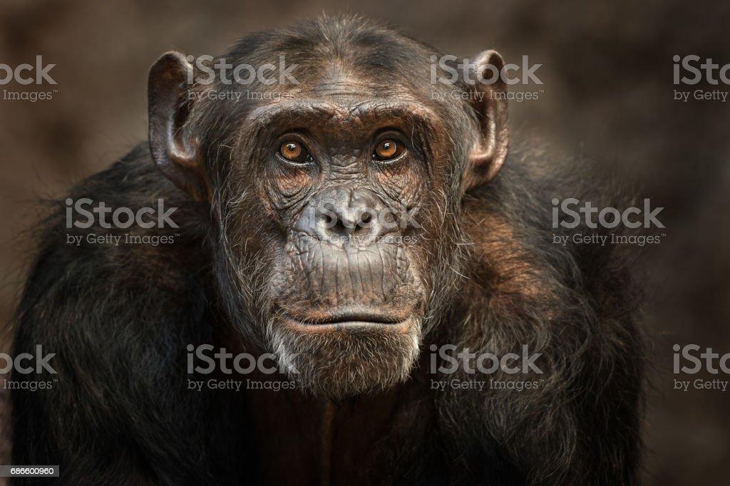 Portrait of a male Chimpanzee stock photo