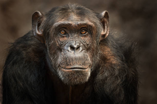 portrait of a male chimpanzee - ape stock pictures, royalty-free photos & images