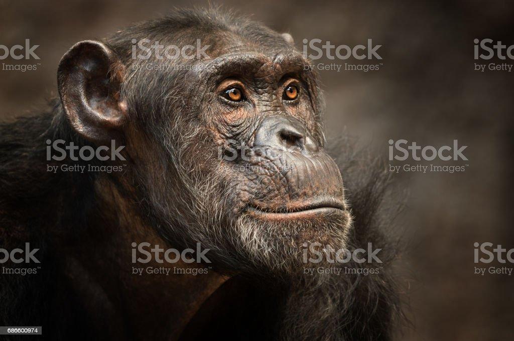 Portrait of a male Chimpanzee royalty-free stock photo