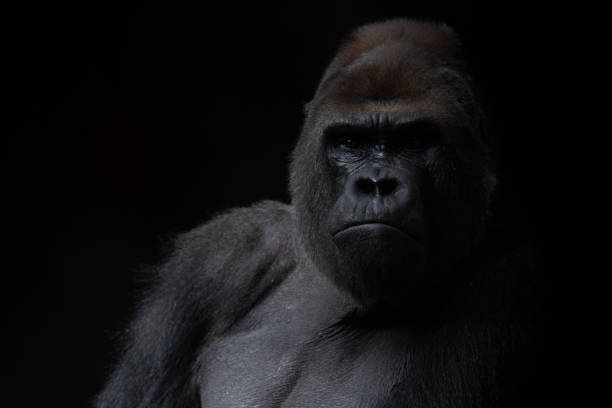 Portrait of a male gorilla in the dark with black background Portrait of a male gorilla in the dark with black background gorilla stock pictures, royalty-free photos & images