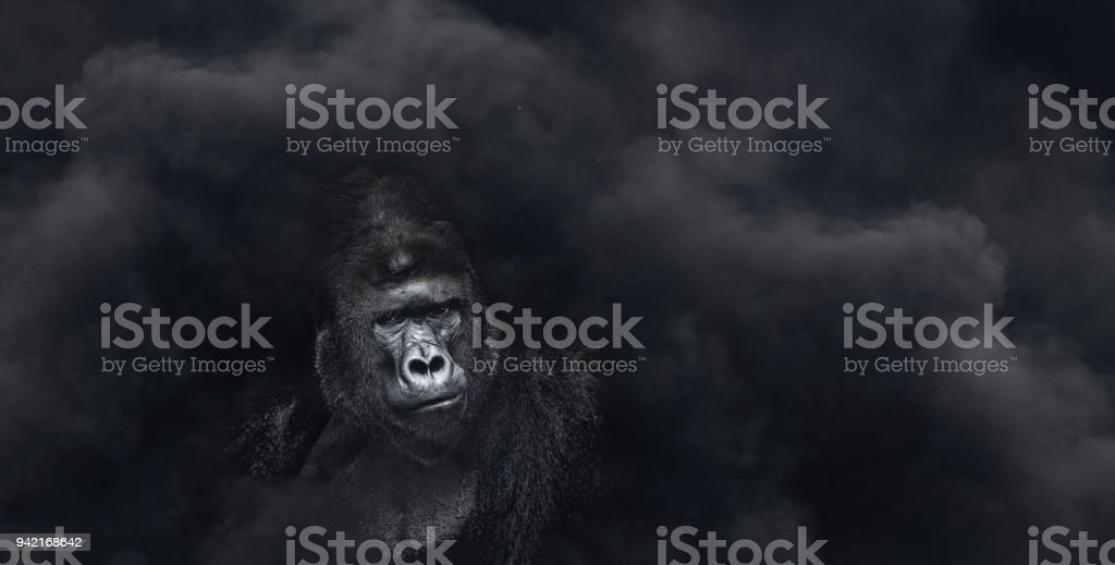 Portrait of a male gorilla on a black background stock photo