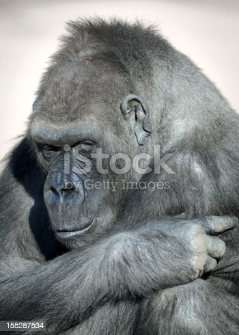 A close up of a gorilla within the parc national des volcans- Rwanda