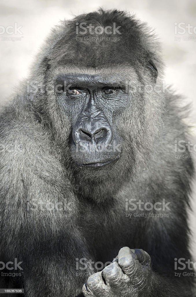 Portrait of a Male Gorilla (Gorilla gorilla) royalty-free stock photo