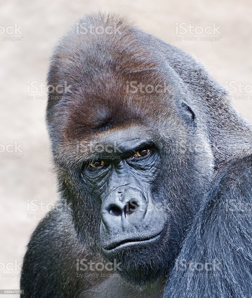 portrait of a male gorilla stock photo