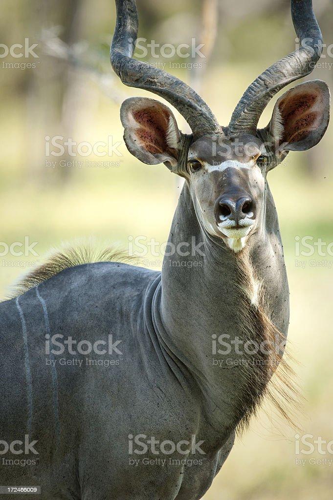 Portrait of a male Greater Kudu antelope, Selous, Tanzania stock photo