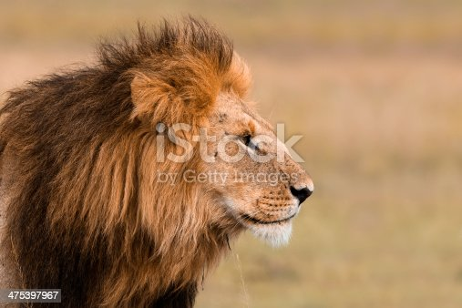 Portrait of a big male lion in Kenya.