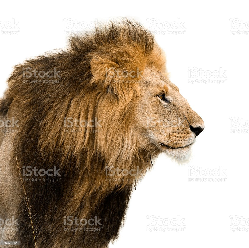 Portrait of a male lion stock photo