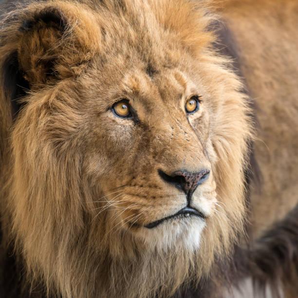 A portrait of a male lion stock photo