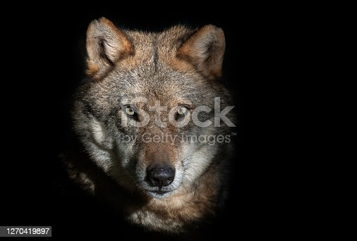 Close shot of a strong male wolf against a black background.