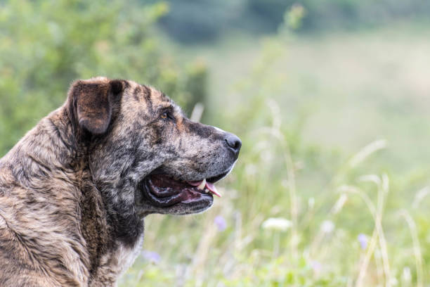 Portrait of a Mastiff Dog