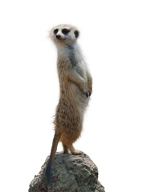 portrait of a meerkat - meerkat stock photos and pictures