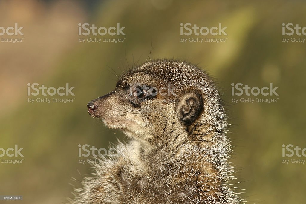 Portrait of a meerkat royalty-free stock photo