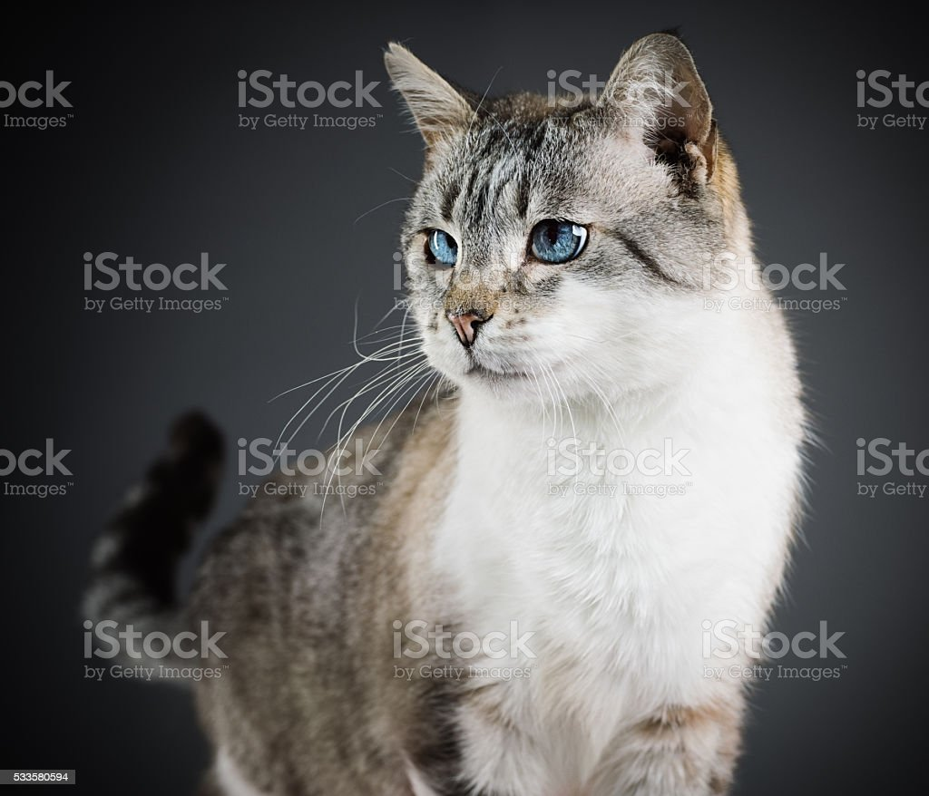 Portrait of a mixed breed cat with blue eyes. stock photo