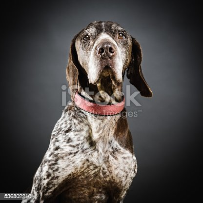Studio portrait of a big german pointer dog looking at camera. The dog is a male. Square color image from a DSLR. Sharp focus on eyes.