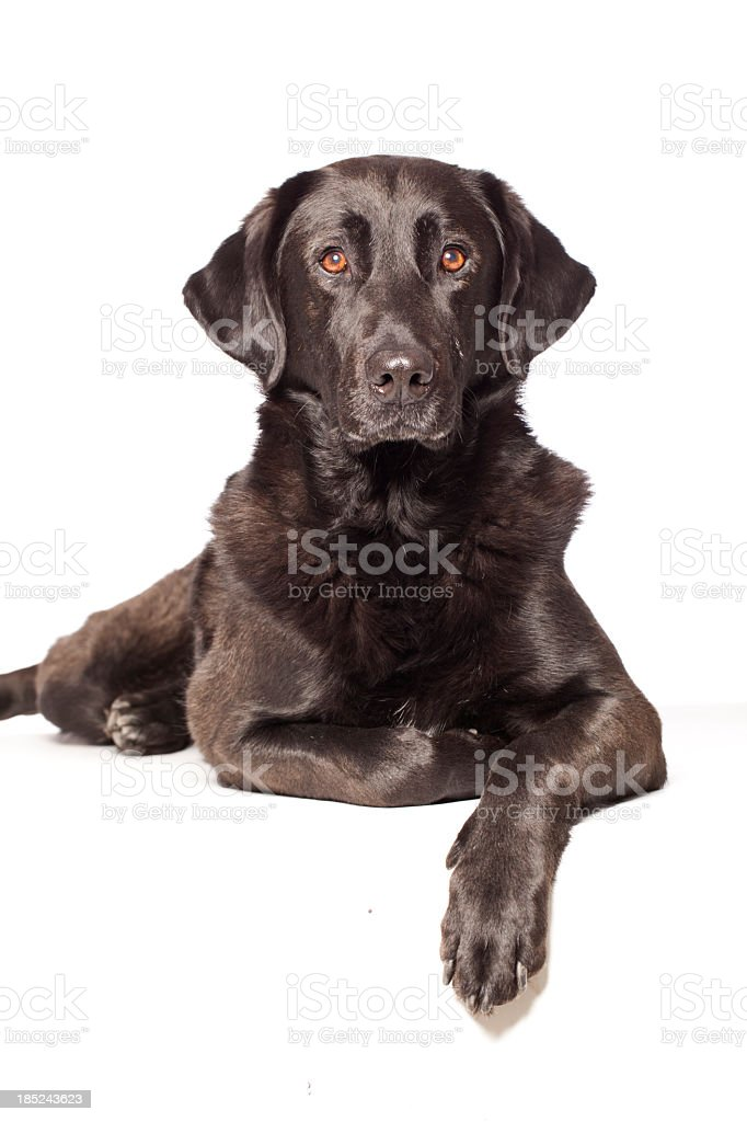 Portrait of a mixed breed labrador stock photo