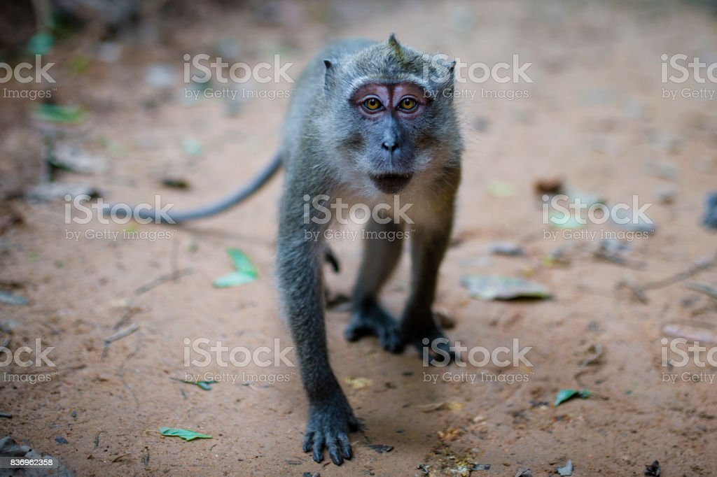 Portrait of a monkey in Thailand stock photo