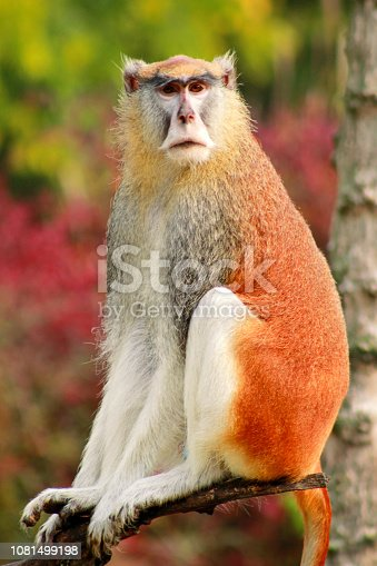 Portrait of a monkey is sitting, resting and posing on branch of tree in garden. Patas monkey is type of primates, tropical exotic wild animals. Monkey look at something in natural environment at zoo.