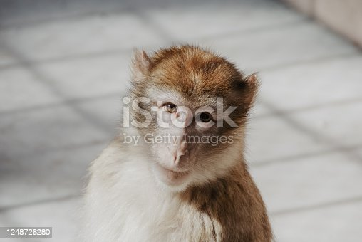 portrait of a medium-sized monkey, looking at the camera with sadness and curiosity, in an enclosure