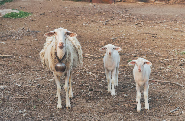 Portrait of a mother goat with her babies. stock photo
