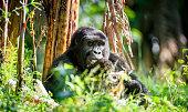Portrait of a mountain gorilla at a short distance.  gorilla  close up portrait.The mountain gorilla (Gorilla beringei beringei)