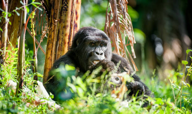 Portrait of a mountain gorilla stock photo