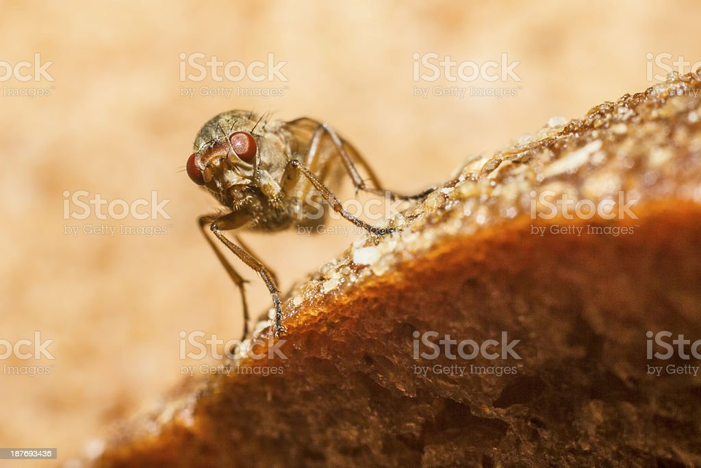 Portrait of a Muscid Fly royalty-free stock photo