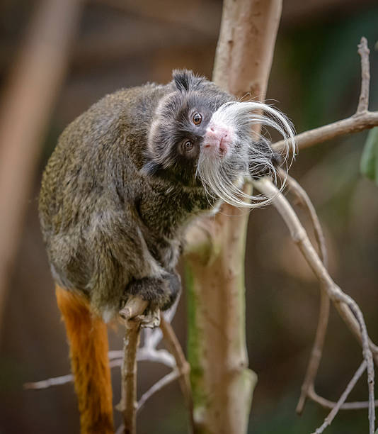 Portrait of a n Emperor Tamarin Portrait of a n Emperor Tamarin starring at the camera dazzled stock pictures, royalty-free photos & images