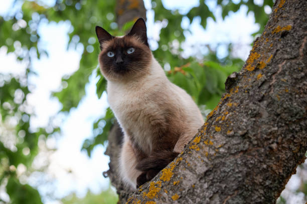 Portrait of a noble Siamese cat sitting on an old tree stock photo