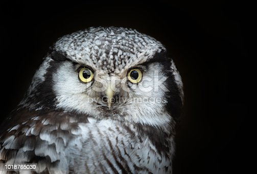 Portrait of a northern hawk-owl (Surnia ulula) against a dark background. The northern hawk-owl is one of the few owls that is neither nocturnal nor crepuscular, being active only during the day.