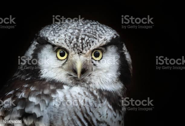 Portrait of a northern hawkowl picture id1018765030?b=1&k=6&m=1018765030&s=612x612&h=zmwmylq4z agi8nawqx mbcwcoygaz4csl0k23kdsq0=