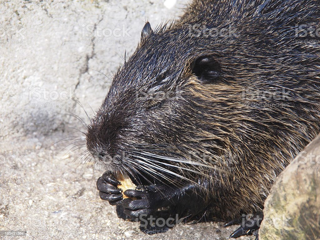 Portrait of a nutria royalty-free stock photo