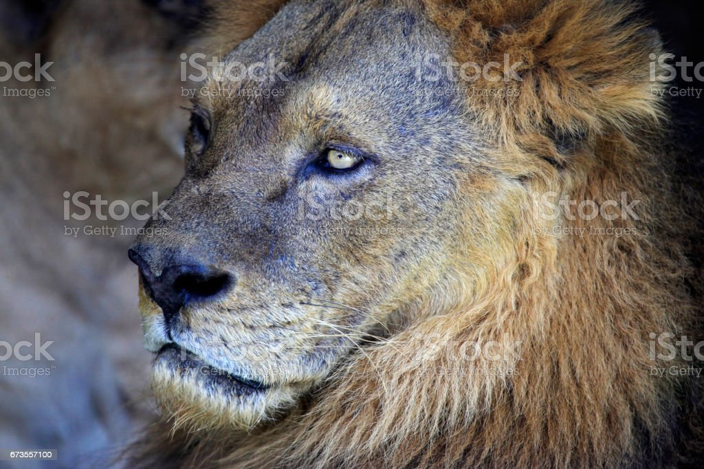 Portrait of a old lioness royalty-free stock photo