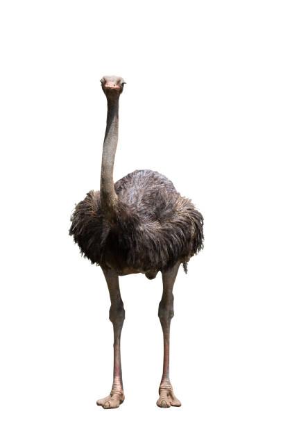 Retrato de un avestruz en fondo blanco - foto de stock