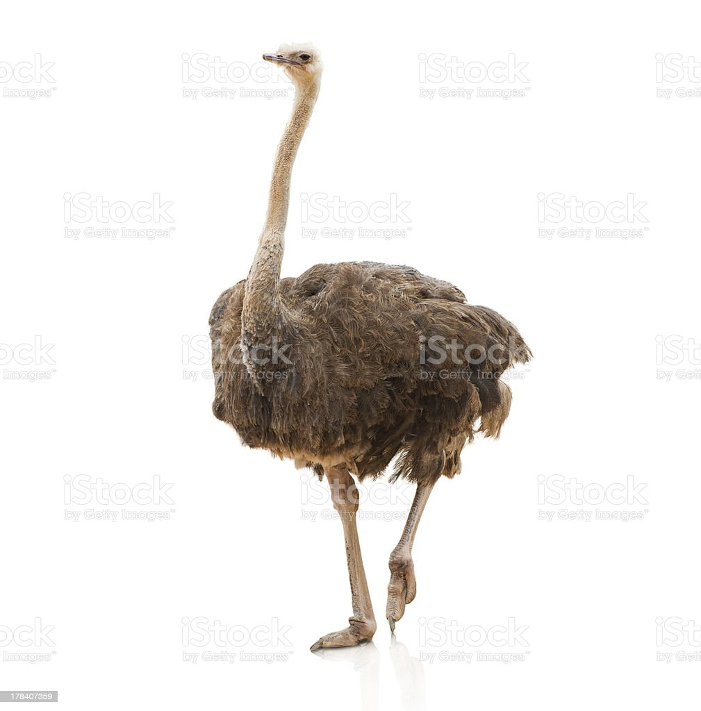 Portrait Of A Ostrich stock photo