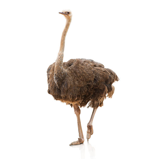 portrait of a ostrich - struisvogel stockfoto's en -beelden