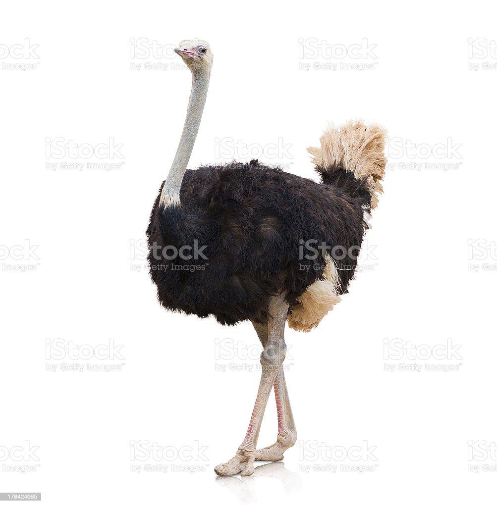 Retrato de un avestruz - foto de stock