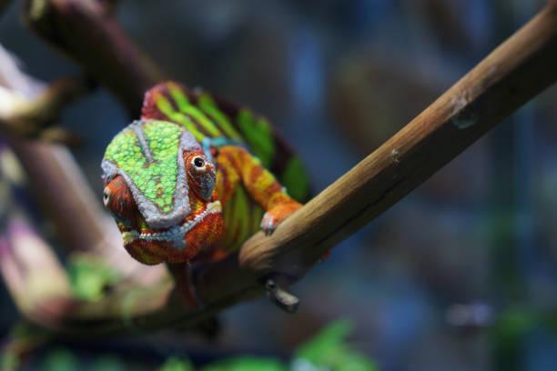 portrait d'un caméléon panthère de belle couleur - animaux familiers exotiques photos et images de collection