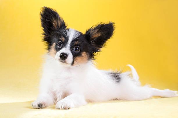 Portrait of a Papillon puppy stock photo