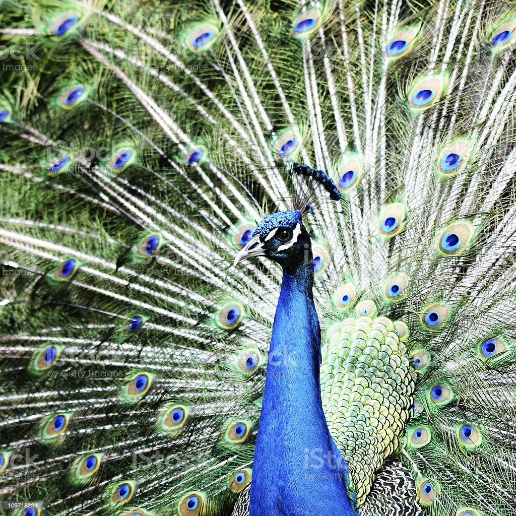 Portrait of a Peacock royalty-free stock photo