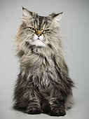 Studio portrait of a persian cat with suspicious expression looking at camera. Vertical studio color portrait from a DSLR camera. Sharp focus on eyes.