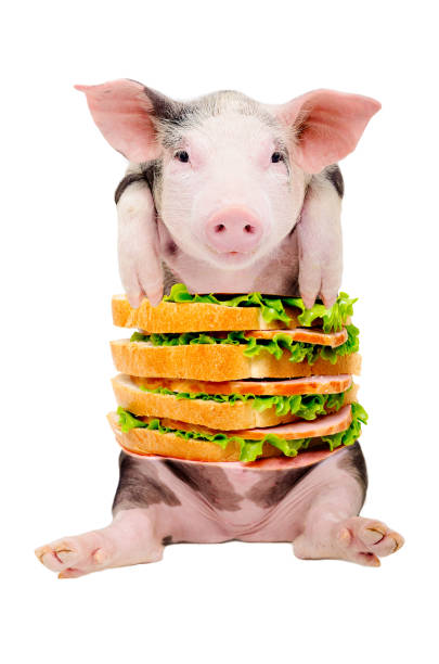 Portrait of a pig with a sandwich instead of the torso stock photo